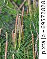 松の木の新芽を春にアップで撮影した写真 69572828
