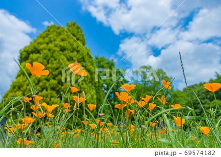 青空を背景に咲くポピー 69574182
