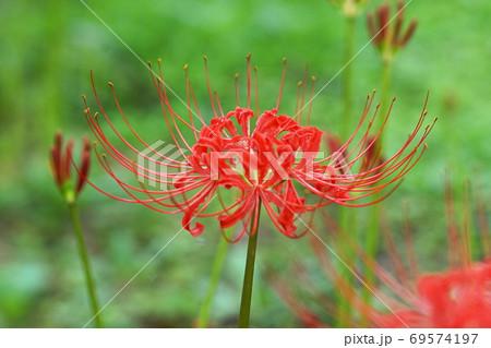 9月 府中152ヒガンバナ(彼岸花)・ヒガンバナ科・郷土の森博物館 69574197