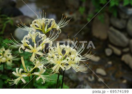 9月 府中150白花マンジュシャゲ(曼珠沙華)・ヒガンバナ科・郷土の森博物館 69574199