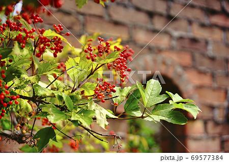 北海道旭川上野ガーデンのレンガと赤い実 69577384