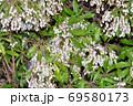 春に複数の白い壺形の小花を咲かせたドウダンツツジと推定される樹木を撮影した写真 69580173