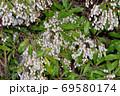 春に複数の白い壺形の小花を咲かせたドウダンツツジと推定される樹木を撮影した写真 69580174