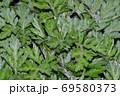 黄緑色の葉を付けた植物の密集した葉を撮影した写真 69580373