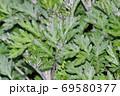 黄緑色の葉を付けた植物の密集した葉を撮影した写真 69580377