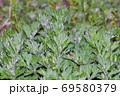 黄緑色の葉を付けた植物の密集した葉を撮影した写真 69580379