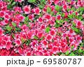 春に赤い花を咲かせたツツジと推定される樹木を撮影した写真 69580787