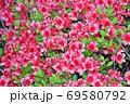 春に赤い花を咲かせたツツジと推定される樹木を撮影した写真 69580792