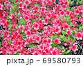 春に赤い花を咲かせたツツジと推定される樹木を撮影した写真 69580793