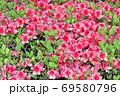 春に赤い花を咲かせたツツジと推定される樹木を撮影した写真 69580796