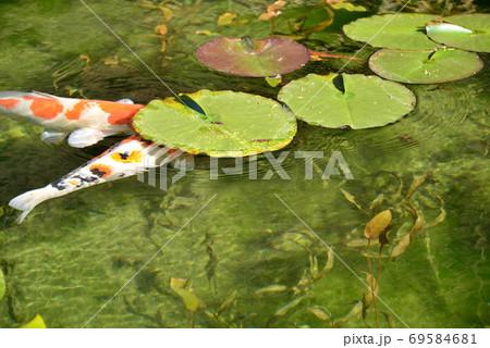 岐阜県関市にあるモネの池で蓮の葉に隠れる錦鯉 69584681