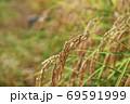 首を垂れる稲穂【秋】 69591999