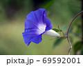 紫色の朝顔【夏季】 69592001