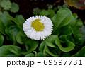 三鷹中原に咲く白いデイジー(ヒナギク) 69597731