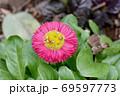 三鷹中原に咲くピンクのデイジー(ヒナギク) 69597773