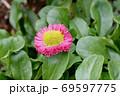 三鷹中原に咲くピンクのデイジー(ヒナギク) 69597775
