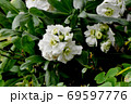 三鷹中原に咲く白いストック 69597776