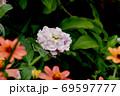 三鷹中原に咲く淡いピンクのストック 69597777