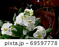 三鷹中原に咲く白いストック 69597778