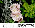 三鷹中原に咲く淡いピンクのストック 69597779