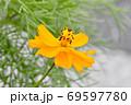 三鷹中原に咲くオレンジ色のキバナコスモスの花 69597780