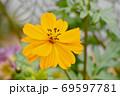 三鷹中原に咲くオレンジ色のキバナコスモスの花 69597781