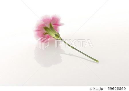 白背景でシンプルに撮影したピンク色のカーネーション 69606869