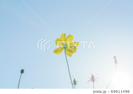 太陽のひかりにつつまれるキバナコスモスの花 69611496