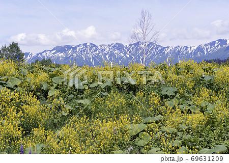 ハルザキヤマガラシの群落(北海道・上士幌町) 69631209