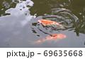 錦鯉 二匹 69635668