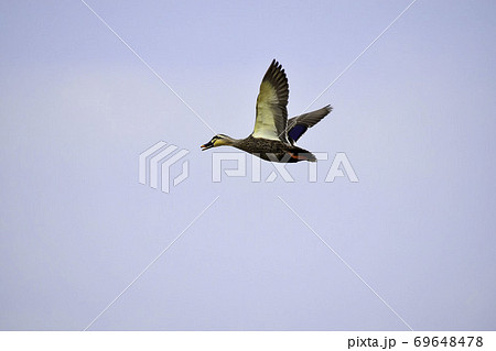 広い空を気持ちよさそうに飛ぶ姿のカモ 69648478
