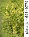収穫前の実った稲穂 69649779