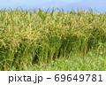 収穫前の実った稲穂 69649781