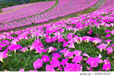 斜面一面にピンクに染め上げる春の花 69659567