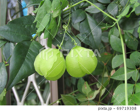 ホウズキのような緑色の実はフウセンカズラの未熟な実 69719308