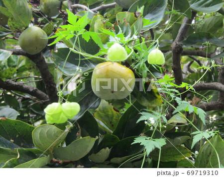 熟し始めた柿の実のところまで伸びたフウセンカズラ 69719310