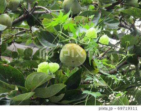 熟し始めた柿の実のところまで伸びたフウセンカズラ 69719311