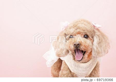 白いレースの服を着て微笑むトイプードルのキャンディ 69719366