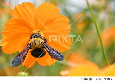 黄花コスモスの蜜を吸うキムネクマバチ 69719405