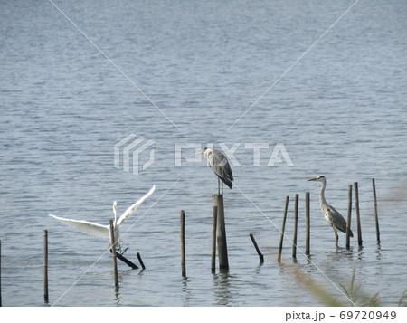 谷津干潟の丸太の上に止まって休憩中のアオサギと羽を広げたダイサギ 69720949