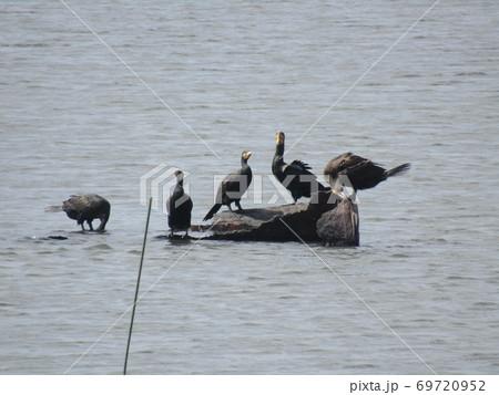 谷津干潟の丸太の島に集まった五羽の鵜 69720952