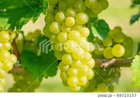 白ワイン ぶどうの実 69723157