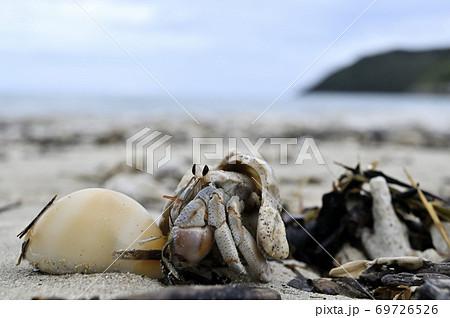 奄美大島の砂浜を歩くオカヤドカリの仲間とタカラガイの貝殻 69726526