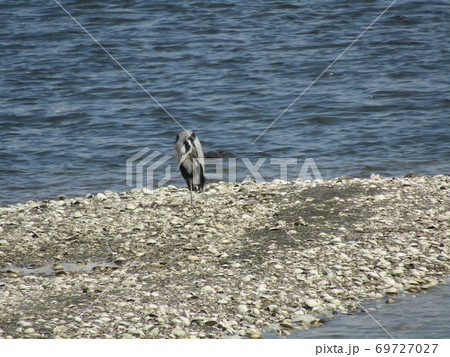 谷津干潟の中州に片足で立つアオサギ 69727027