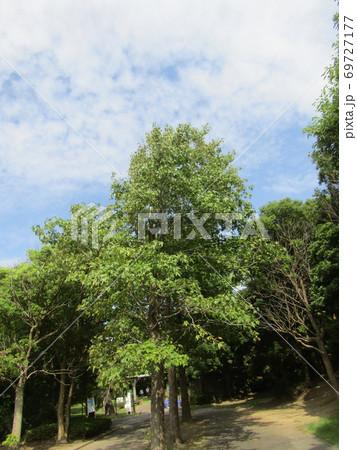 もう直ぐ紅葉する谷津干潟公園のモミジバフウの大木 69727177