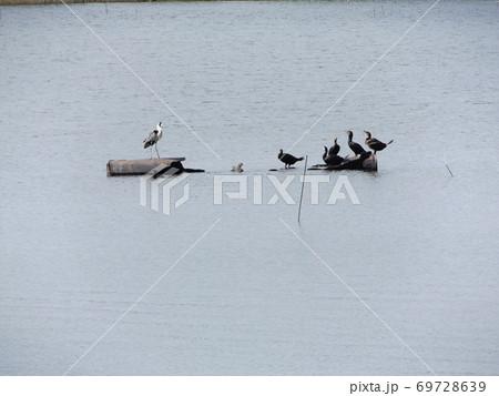 谷津干潟の丸太の島にアオサギとウ 69728639