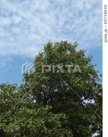 谷津干潟公園の入り口の大木モミジバフウ 69728640