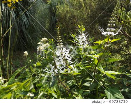 ネコヒゲとも呼ばれるキャッツウィスカーは白い花 69728730