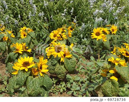 夏の花といえば黄色いヒマワリ・これはミニヒマワリ 69728736
