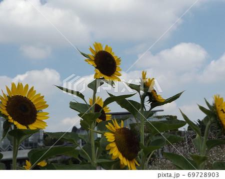夏の花といえば黄色いヒマワリ 69728903